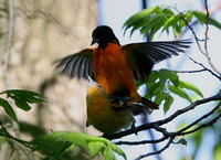 Baltimore Oriole (mating)