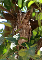 Pacific Screech Owl - Casa Solimar, Costa Rica