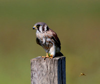 American Kestrel With Prey (Katydid?)