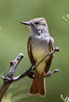 Ash-throated Flycatcher - Big Bend National Park, Texas