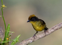 Tricolored Brush-Finch - Mindo, Ecuador