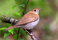 Veery - Palos Forest Preserve