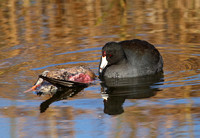 American Coot scavenging a duck