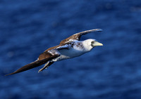 Masked Booby - Lesser Antilles