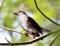 Scaly-breasted Thrasher - Saint Kitts