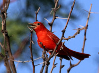Summer Tanager - Big Bend National Park, Texas