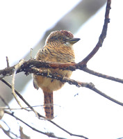 Barred Puffbird - Rio Silanche Bird Sanctuary - Ecuador