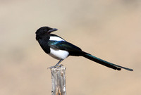 Black-billed Magpie - Yellowstone National Park