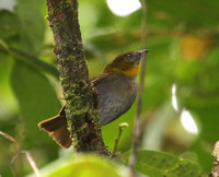 Yellow-throated Bush-Tanager - Mindo, Ecuador