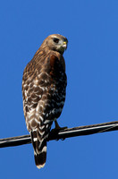 Red-shouldered Hawk - Texas