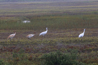 Whooping Cranes - Two Immature Survived - Aransas NWR, Texas