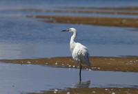 Reddish Egret White Morph - Galveston, Texas