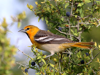 Bullock's Oriole - Big Bend National Park, Texas