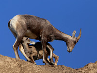 Bighorn Sheep Nursing - Badlands National Park South Dakota