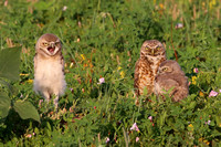 Burrowing Owls - Badlands National Park, South Dakota