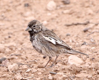 Lark Bunting - Big Bend National Park, Texas