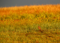 Burrowing Owl - Sunrise at Badlands National Park, South Dakota