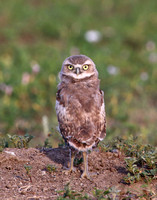 Burrowing Owl - Badlands National Park, South Dakota