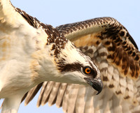 Osprey - Chicago, Illinois
