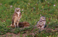 Burrowing Owls with Prey - Badlands National Park