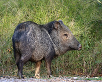 Collared Peccary - Big Bend National Park