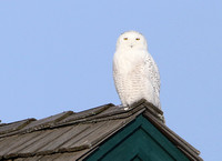 Snowy Owl - Bolingbrook Golf Club - Illinois