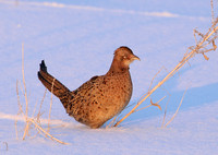 Ring-necked Pheasant - Female in Snow