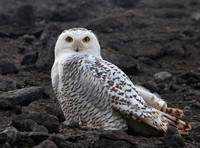 Snowy Owl - ArcelorMittal - East Chicago, IN