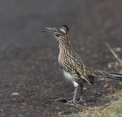 Greater Roadrunner Atoscosa National Wildlife Refuge, Texas