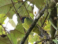 Green-and-black Fruiteater - Paz de las Aves, Ecuador