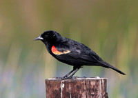 Red-winged Blackbird - Anahuac National Wildlife Refuge, Texas