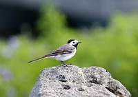 White Wagtail - Iceland