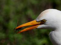 Cattle Egret with prey