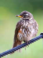 Redwing - Iceland