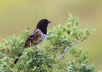 Spotted Towhee - Custer State Park, South Dakota