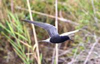 Black Tern - Anahuac National Wildlife Refuge, Texas