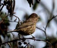 House Finch (female