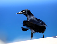 Greater Antillean Grackle - Puerto Rico