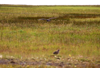 Parasitic Jaeger - Iceland
