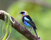 Golden-hooded Tanager - Laguna Lagarto, Costa Rica