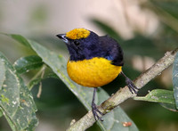 Orange-bellied Euphonia - Mindo, Ecuador