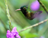Black-crested Coquette - Costa Rica