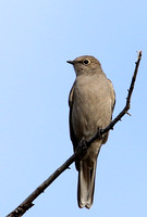 Townsend's Solitaire - Yellowstone National Park, Wyoming
