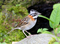 Rufous-collared Sparrow - San Tadeo - Mindo, Ecuador