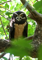Spectacled Owl - Casa Solimar, Costa Rica