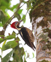 Lineated Woodpecker - Rio Silanche Bird Sanctuary - Ecuador