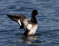 Lesser Scaup - Wolf Lake.  Chicago, IL.