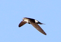 White-throated Swift - Big Bend National Park, Texas