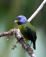 Moss-backed Tanager - Reserva Amagusa, Ecuador
