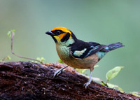 Flame-faced Tanager - Reserva Amagusa, Ecuador